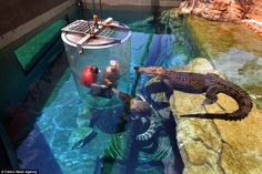 Two giant crocodiles look on as two  tourists brave the adrenaline-fuelled attraction in D...