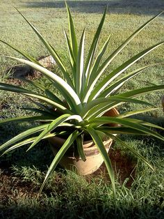Oct 2012 pineapple plants getting massive! Pineapple Planting, Some Pictures, Hawaiian, Amazing, Plants, Plant, Planets