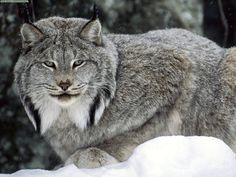 【動物画像】暇やし、野生猫の画像貼るわ:ハムスター速報