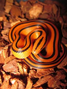 Thai bamboo rat snake in the flash! Snake Turtle, Rat Snake, Corn Snake, Beautiful Snakes, Animals Beautiful, Large Animals, Animals And Pets, All About Snakes, Serpent Snake