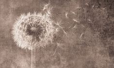 Wand Tattoo, Funny Cards, Wall Wallpaper, Dandelion, Wall Art, Drawings, Illustration, Nature, Pictures
