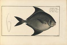 plates 325-432 - D. Marcus Elieser Bloch's, ausübenden Arztes zu Berlin ... Oeconomische Naturgeschichte der Fische Deutschlands ... - Biodiversity Heritage Library