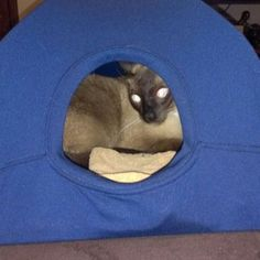DIY Cat Tent: 9 Steps (with Pictures) Diy Cat Tent, Car Tent, Cat House Diy, Cat Enclosure, Reptile Enclosure, Cat Whisperer, F2 Savannah Cat, Munchkin Cat, Cat Room