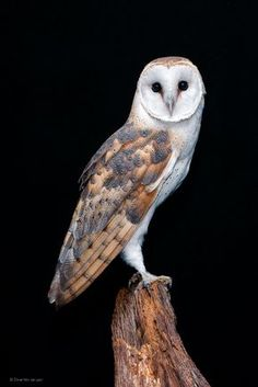 Barn Owl by Dave Van de Laar on 500px