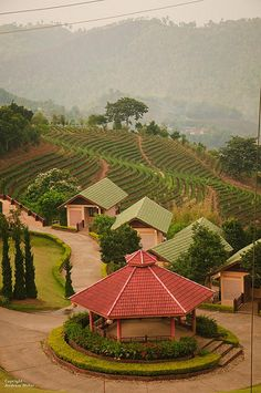 Tea Plantation, Santikhiri, Thailand