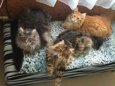 Maine Coon Love   Flickr - Photo Sharing!