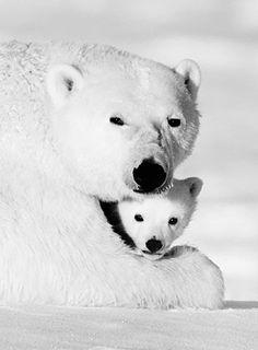 Polar Bears #photos, #bestofpinterest, #greatshots, https://facebook.com/apps/application.php?id=106186096099420
