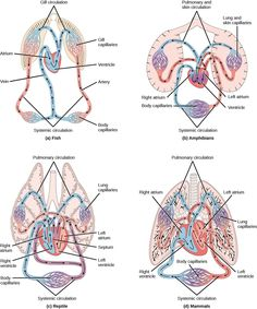 Human hearts have four chambers a configuration that ensures we learn more about types of circulatory systems in animals in the boundless open textbook the circulatory systems of animals differ in the number of heart ccuart Choice Image