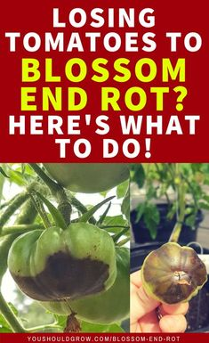 Growing tomatoes this summer? How to deal with blossom end rot. Don't stress over losing homegrown tomatoes anymore. Find out what works and what doesn't. #gardeningtips #tomatoes #gardeningtips #organicgardening #vegetablegardenideas #vegetablegarden #youshouldgrow
