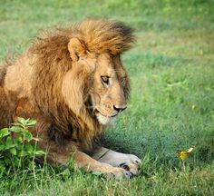 Here's A Lion Fascinated By A Butterfly