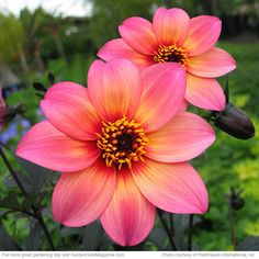 """Dahlia - """"Mystic Fantasy""""  Type Tuber  Blooms Pink flowers with yellow halos from spring to summer  Light Full sun  Soil Moist, well-drained  Size 24 to 30 in. tall, 20 to 24 in. wide  Cold-hardy USDA zones 9 to 11  Heat-tolerant AHS zones 12 to 1  Introducer PlantHaven® International, Inc."""