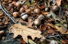 Can You Compost Acorns: Tips On Composting Acorns - Oak trees drop acorns on your yard every fall. Getting rid of them can be painstaking, so composting acorns may be the answer. Read here to learn more and get tips on adding acorns to the compost pile. Survival Life, Wilderness Survival, Survival Gear, Survival Skills, Survival Blog, Hobby Farms, Medicinal Plants, Poisonous Plants, Outdoor Survival