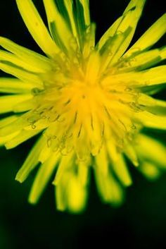 dandelion root tea - cleanses the liver and gallbladder allowing for increased function Dandelion Plant, Dandelion Root Tea, Eating Dandelions, Dandelion Benefits, Tea Benefits, Health Benefits, How To Make Tea, Homeopathy, Detox Drinks
