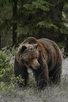 Discover Jasper and its Wildlife Tour: Small Group Wildlife Sightseeing Tour We Bear, Bear Cubs, Grizzly Bears, Cute Wild Animals, Animals Beautiful, Animals And Pets, Bear Pictures, Animal Pictures, North American Animals