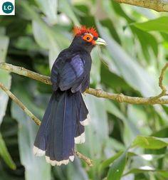 https://www.facebook.com/WonderBirds-171150349611448/timeline/?ref=hl Phướn Malkoha mào đỏ; Họ Cu cu-Cuculidae; loài đặc hữu Philippines | Red-crested malkoha (Phaenicophaeus superciliosus) IUCN Red List of Threatened Species 3.1 : Least Concern (LC) Loài ít quan tâm)