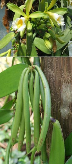 Vanilla bean is also a flowering plant with white flowers. The plant produces long pods that are treated and dried. 15 Stunning Photos That Prove You Have No Clue How Food Is Grown