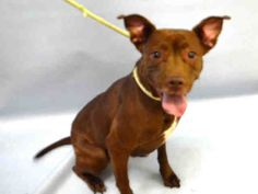 MOCHA - A1100549 - - Manhattan  Please Share:TO BE DESTROYED 01/03/17 **NEEDS A NEW HOPE RESCUE TO PULL** -  Click for info & Current Status: http://nycdogs.urgentpodr.org/mocha-a1100549/