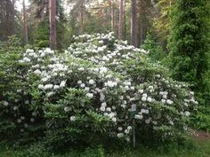 "Rhododendron brachycarpum tigerstedtii kuva jsaarinen ""Mustilan alppiruusu"" omassa metsässä Bonon haudalla. Archipelago, Cottage, Plants, Summer, Google Search, Summer Time, Cottages, Plant, Cabin"