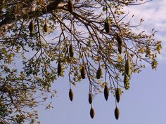 The fruits of the Baobabs are popular with monkeys and elephants. Also dried you can use the flesh aroud the seeds as a nice ingredient for juices. The oil from the seeds is used as cosmetics