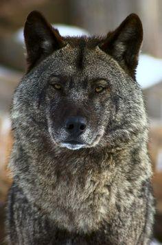 National Geographic Russia– Google+ - Портрет волка. Автор фото: Юрий Васильев.