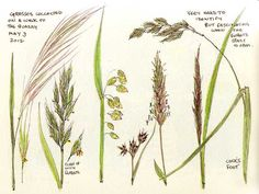Sketching in Nature: Wild flowers down our lane