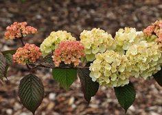 Viburnum-plicatum-Rosacea-bloemen in zacht pastel