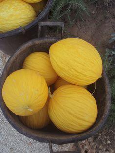 Melone giallo di Paceco in corso del riconoscimento IGP.