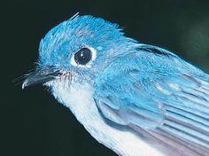 Cerulean paradise-flycatcher