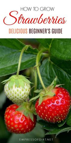 This is for beginner gardeners who want to grow strawberries in the home garden. The most successful food growing in the home garden often starts with a love of something delicious—in this case, fresh, sweet, over-the-moon, fabulous strawberries, and the irrepressible desire to have more! #gardening #gardentips #growfruit #strawberries #beginnergardeners #empressofdirt