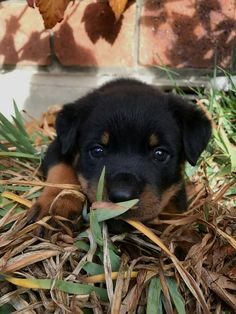 An Adorable Rottweiler Meets A Baby For The First Time - The Pooch Online Dog Training Methods, Basic Dog Training, Dog Training Techniques, Training Dogs, Rottweiler Love, Rottweiler Puppies, Beagle, German Dog Breeds, Puppy Obedience Training