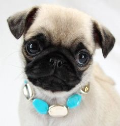 diva pug wearing a necklace hehe
