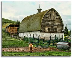 Wandering through the Palouse Hills we came across this Scottish cow and his barn.