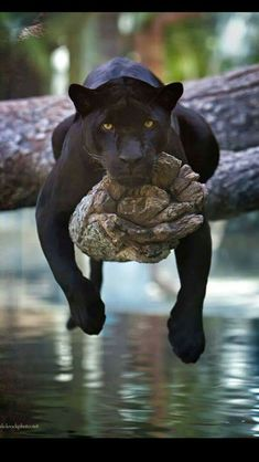 Panther by Charlie Burlingame /Panthère noire Nature Animals, Animals And Pets, Baby Animals, Funny Animals, Cute Animals, Wild Animals, Wildlife Nature, Jungle Animals, Pretty Animals