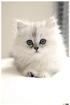 Persian Kittens Persian cats - 13 Reasons to never get a Persian cat ;) - Let see pictures of cat bath/wet cat, Cats are cute and cuddly animals. The independent nature of cats makes them an ideal choice as pets.