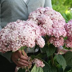 Buy sevenbark ( Sweet Annabelle ) Hydrangea arborescens 'Sweet Annabelle ('NCHA4') (PBR)': Delivery by Crocus