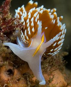Hermissenda Nudibranch   ;)
