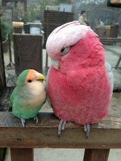 [Mint e Honoka, Cockatoo Kobe Kacho-en (o jardim de pássaros e fores), Cidade de Kobe, Japão.]