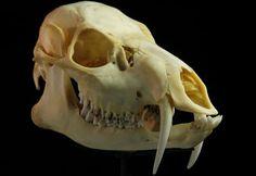 Chinese Water Deer - Skulls – An Exploration Animal Skeletons, Animal Skulls, Water Deer, Animal Anatomy, Animal Bones, Deer Skulls, Baboon, Human Skull, Animal Heads