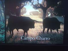 El toro y la encina...la encina y el toro, eso es el Campo Charro de Salamanca
