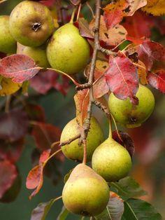 Autumn Pear 'Wild Eggs Pear' medium - Pyrus communis 'Wild Eggs Pear' - Nursery Horstmann