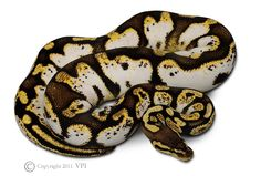 High White Sugar Ball Python;one of the best I've seen!