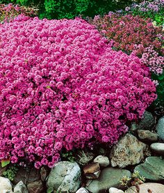 Wild Thyme (Thymus Serpyllum) forms evergreen cushions that spread rapidly and are smothered in flowers in summer. Its tiny leaves contain a rich, fragrant essential oil. This ground cover plant fills the air with a herbal scent. Fast growing, resistant, requires little care