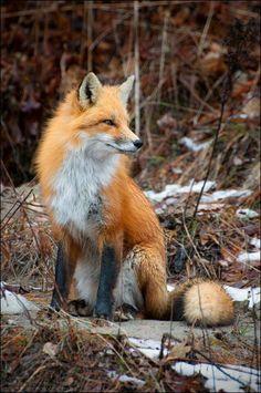 Beautiful Red Fox ♡