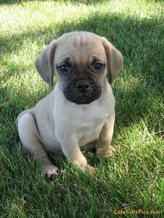 Bull Mastiff puppy! Cant wait to get mine :)   ...........click here to find out more     http://googydog.com