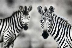 original acrylic zebra painting on canvas animal by CactusboyArt, Ft25000.00