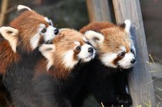 Cute Animal Pictures, Cute Baby Animals, Animal Photography, Cute Babies, Red And White, Creatures, Kawaii, Dinosaurs, Red Panda
