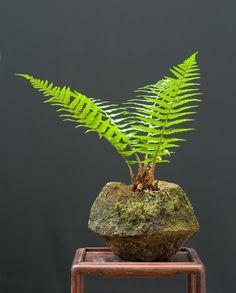 Google Image Result for http://www.artofbonsai.org/art-of-bonsai-awards/2009/aob_089_fern.jpg
