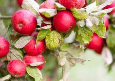 Omenapuun kasvatus onnistuu pihalla, mutta myös ruukussa parvekkeella. Lue Viherpihan parhaat vinkit puun istutukseen, kasvatukseen ja hoitoon, Natural Garden, Grow Your Own Food, Small Gardens, Fruit, Vegetables, Plants, Finland, Trees, Kitchen