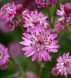 Astrantia is perfect for a cottage garden, thrives in a border, even in shade. Large, deep red flowers look like pin cushions & interesting dark green foliage.