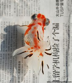 Black, white and red, calico, butterfly telescope goldfish.